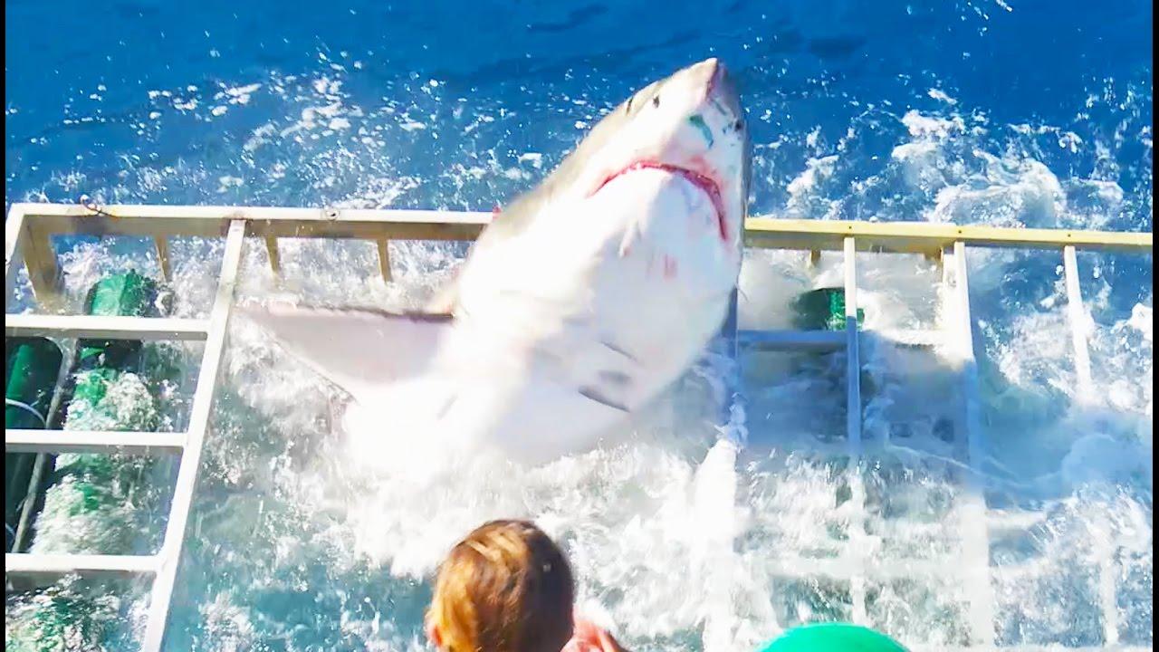 Großer weißer Hai bricht durch Taucherkäfig